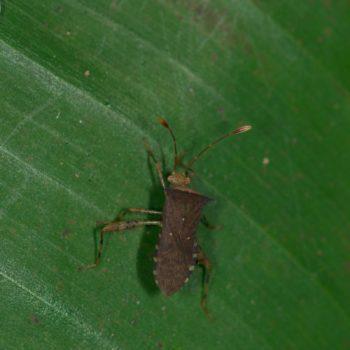 Zicca sp. (Randwanze)