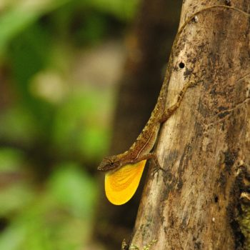 Anolis polylepis (Many-scaled Anole) - Costa Rica