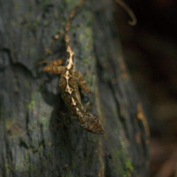 Anolis polylepis (Many-scaled Anole)