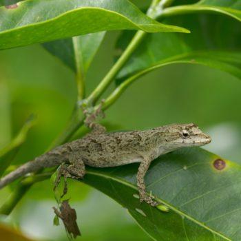 Anolis sp. (Anolis) - Costa Rica