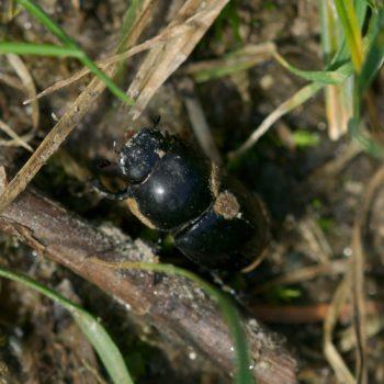 Aphodius sp. (Blatthornkäfer)