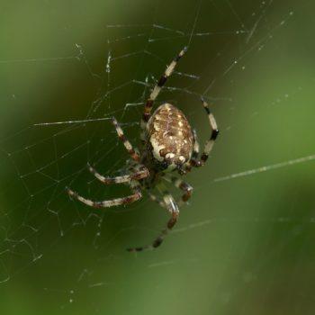 Arachnida (Spinnentiere) - Pinzgau, Österreich (August 2019)