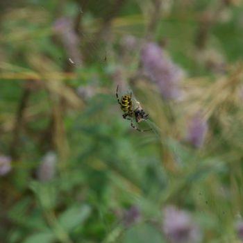 Argiope bruennichi (Wespenspinne)