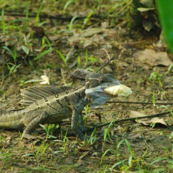 Basiliscus basiliscus (Helmbasilisk) - Costa Rica