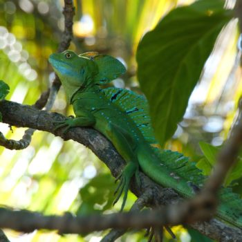 Basiliscus plumifrons (Stirnlappenbasilisk) - Costa Rica