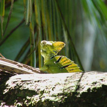 Basiliscus plumifrons (Stirnlappenbasilisk)