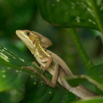 Basiliscus vittatus (Streifenbasilisk) - Costa Rica