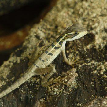 Basiliscus vittatus (Streifenbasilisk)