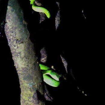 Bothriechis lateralis (Grüngelbe Palmlanzenotter) - Costa Rica
