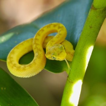 Reptilia (Reptilien) - Costa Rica 2018
