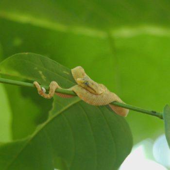 Bothriechis schlegelii (Greifschwanz-Lanzenotter)