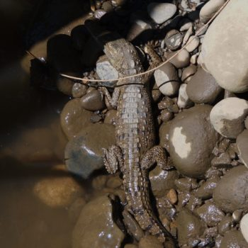 Caiman crocodilus (Krokodilkaiman) - Costa Rica