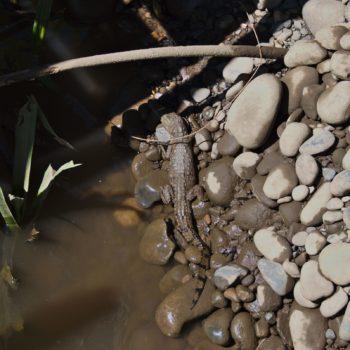 Caiman crocodilus (Brillenkaiman)