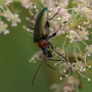 Carilia virginea (Blaubock)