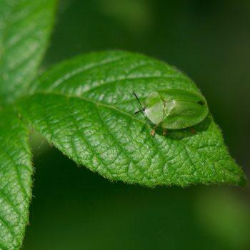 Cassida viridis (Grüner Schildkäfer)