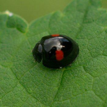Chilocorus renipustulatus (Nierenfleckiger Kugelmarienkäfer)