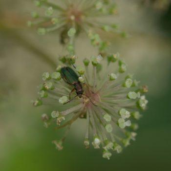 Chrysanthia geniculata (Scheinbockkäfer)