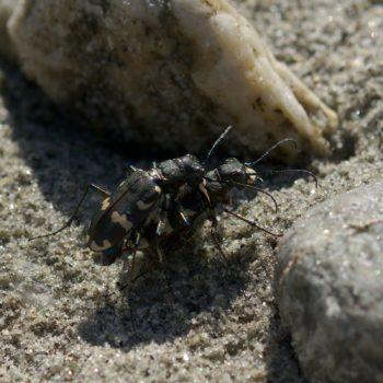 Cicindela hybrida (Dünen-Sandlaufkäfer)