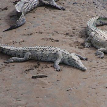 Crocodylus acutus (Spitzkrokodil)