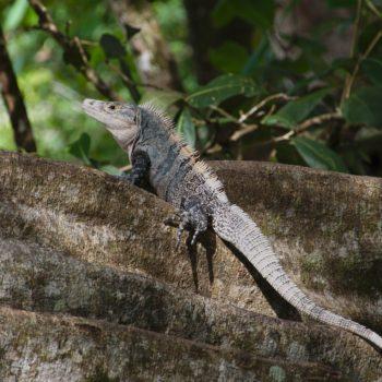 Ctenosaura similis (Gemeiner Schwarzleguan) - Costa Rica
