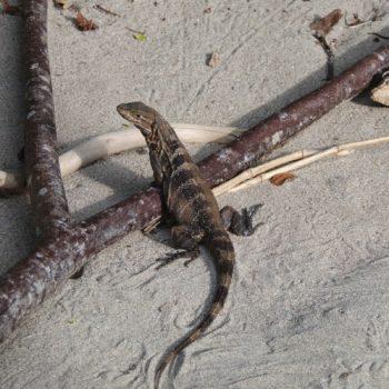 Ctenosaura similis (Gemeiner Schwarzleguan)