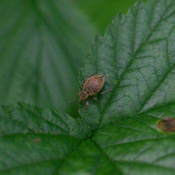 Donus ovalis (Rüsselkäfer)