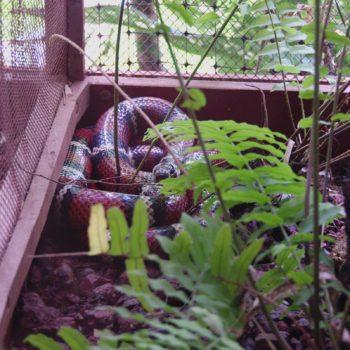 Erythrolamprus sp. (Falsche Korallenschlange) - Costa Rica