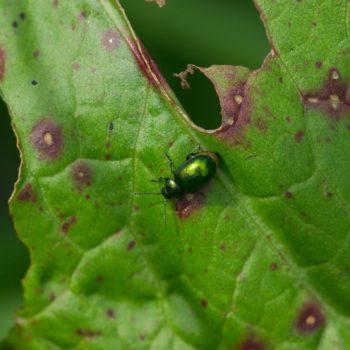 Gastrophysa viridula (Grüner Sauerampferkäfer)