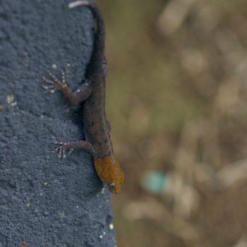 Gonatodes albogularis (Gelbkopf-Gecko) - Costa Rica