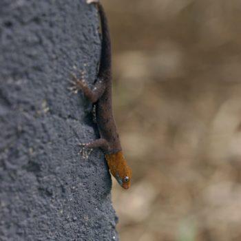 Gonatodes albogularis (Gelbkopf-Gecko)