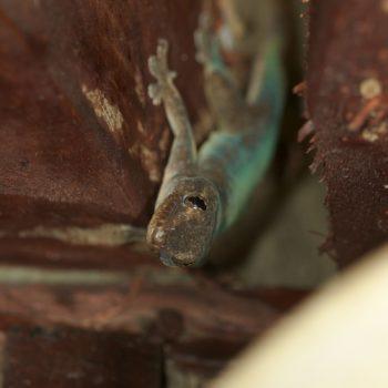Hemidactylus frenatus (Asiatischer Hausgecko)