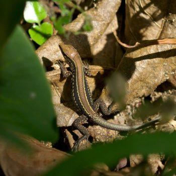 Holcosus quadrilineatus (Four-lined Ameiva) - Costa Rica