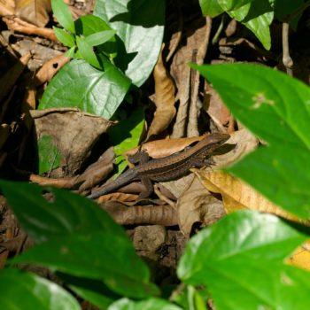 Holcosus quadrilineatus (Four-lined Ameiva)