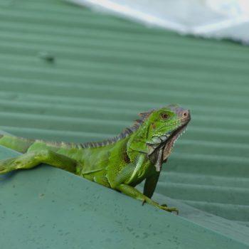 Iguana iguana (Grüner Leguan) - Costa Rica