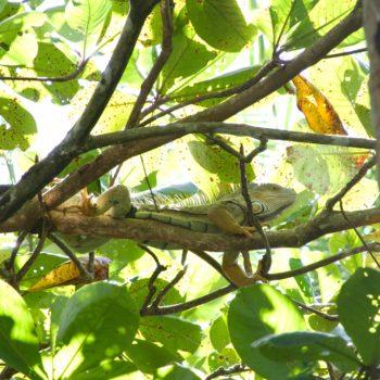 Iguana iguana (Grüner Leguan)