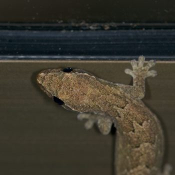 Lepidodactylus lugubris (Gewöhnlicher Schuppenfingergecko)