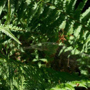 Linyphia sp. (Baldachinspinne)