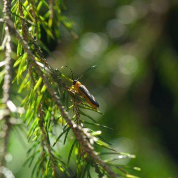 Oberea pupillata (Geißblatt-Linienbock)