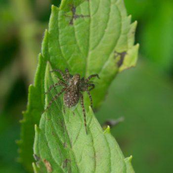 Pardosa sp. (Wolfspinne)