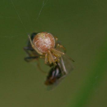 Phylloneta impressa/sisyphia (Kugelspinne)