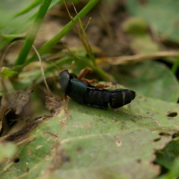 Platydracus fulvipes (Kurzflügler)