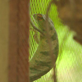 Polychrus gutturosus (Buntleguan) - Costa Rica