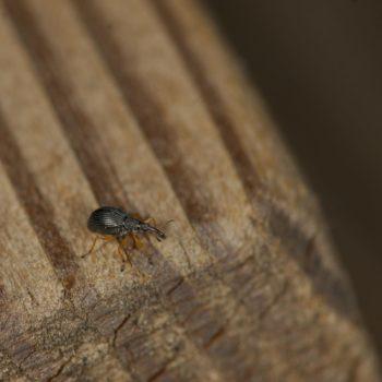 Protapion cf. fulvipes (Rotfüßiger Klee-Spitzmausrüssler)