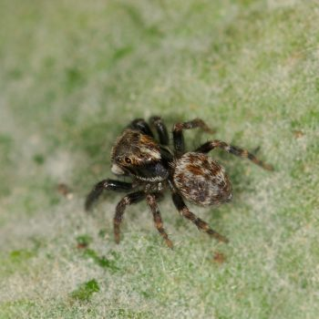 Pseudeuophrys erratica (Springspinne)