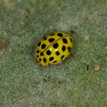 Psyllobora vigintiduopunctata (Zweiundzwanzigpunkt-Marienkäfer)