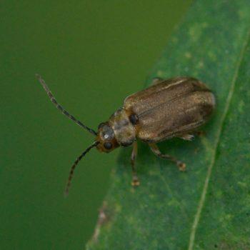 Pyrrhalta viburni (Schneeballblattkäfer)