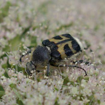 Trichius sp. (Pinselkäfer)
