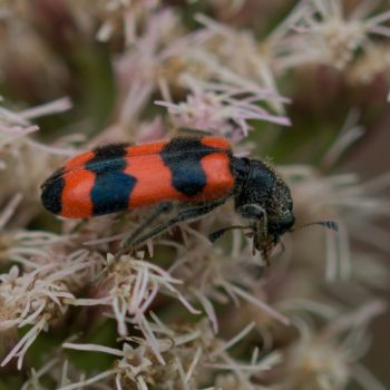 Trichodes apiarius (Gemeiner Bienenkäfer)