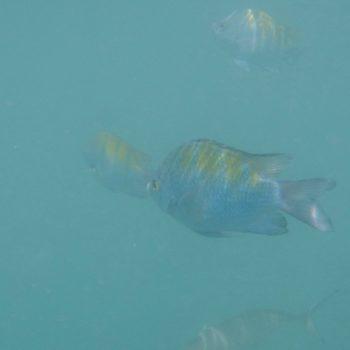 Abudefduf troschelii (Panamesischer Feldwebelfisch)