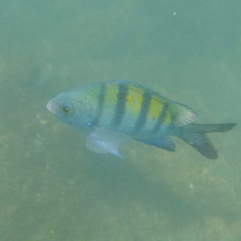 Abudefduf troschelii (Panamesischer Feldwebelfisch) - Costa Rica